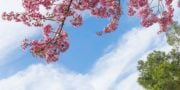 sky ceiling with cherry blossoms fluorescent light covers